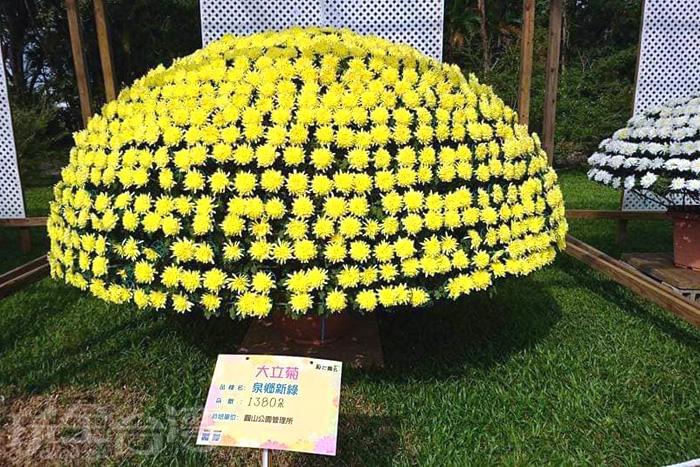 花費兩年時間所精心培育栽植的大立菊。/玩全台灣旅遊網特約記者飲月攝