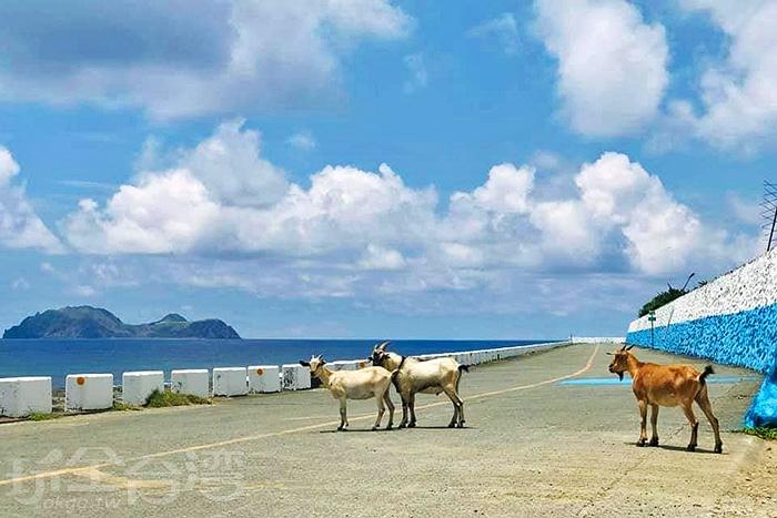無處不在的蘭嶼野生山羊。/玩全台灣旅遊網特約記者隱月攝