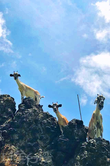 在山邊的礁石上也可以見到野生山羊的蹤影。/玩全台灣旅遊網特約記者隱月攝