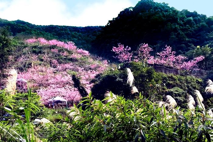 粉嫩櫻花與白色芒草相映成趣。/玩全台灣旅遊網特約記者隱月攝