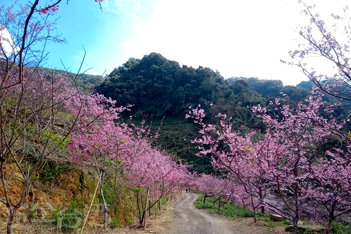 小路兩旁都是盛開的吉野櫻。/玩全台灣旅遊網特約記者隱月攝