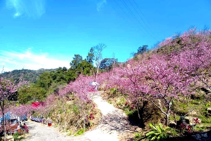 在藍天的映照下,粉色櫻花林更顯美麗。/玩全台灣旅遊網特約記者隱月攝