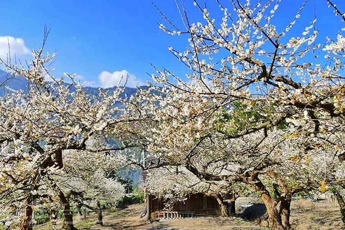 此生必來的信義鄉外坪頂蔡家梅園。/玩全台灣旅遊網特約記者隱月攝