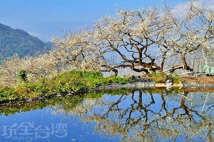 水面有著清晰的梅樹倒影。/玩全台灣旅遊網特約記者隱月攝