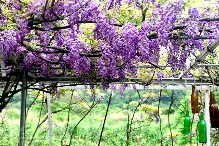 紫藤花海讓人心曠神怡。/玩全台灣旅遊網特約記者單雪攝