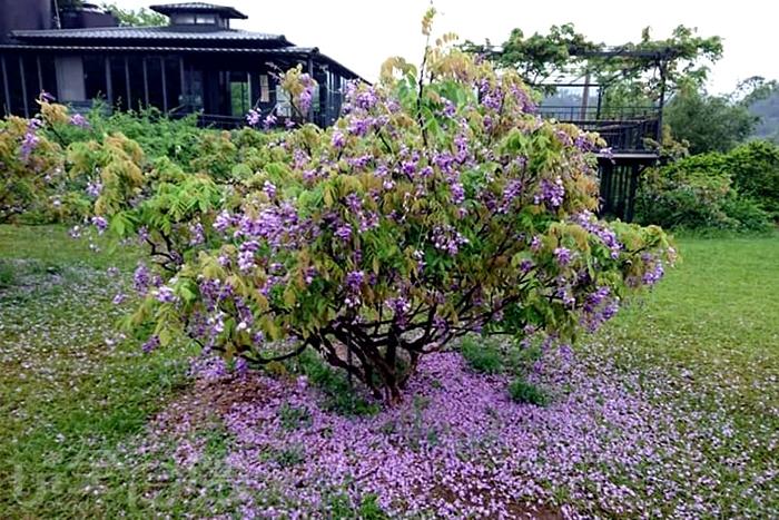 紫藤花正是準備要盛開的時候。/玩全台灣旅遊網特約記者單雪攝