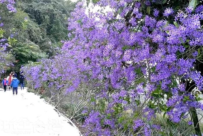夢幻又唯美的紫色錫葉藤花海。/玩全台灣旅遊網特約記者隱月攝