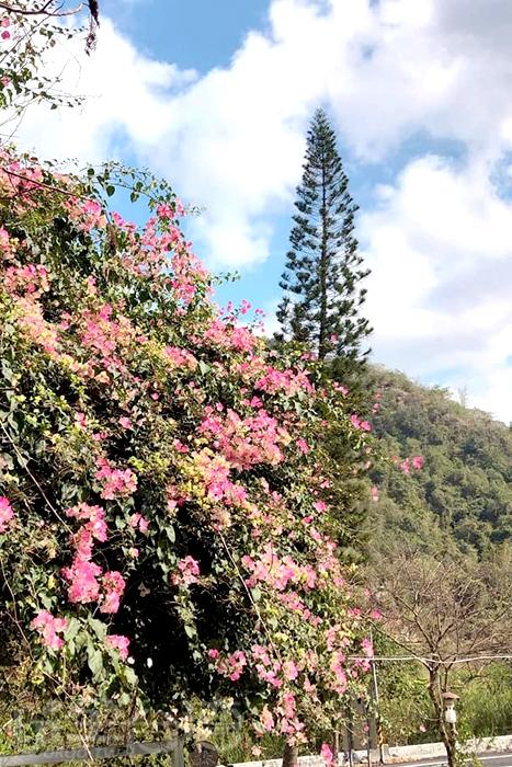 粉紅色的九重葛也正悄悄盛開著。/玩全台灣旅遊網特約記者隱月攝