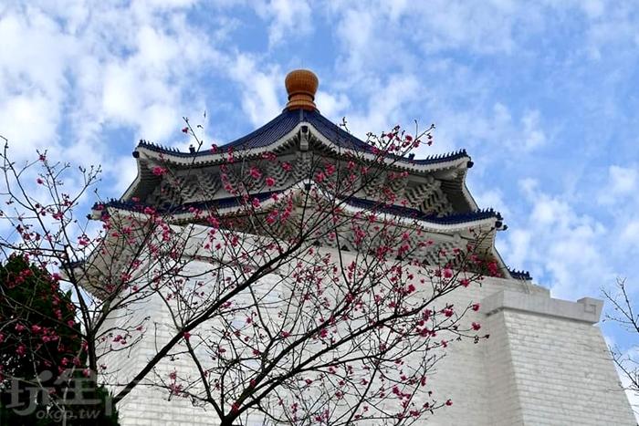 中正紀念堂的櫻花已綺悄開放。/玩全台灣旅遊網特約記者單雪攝