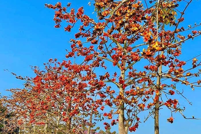 花紅似火的木棉花。/玩全台灣旅遊網特約記者單雪攝