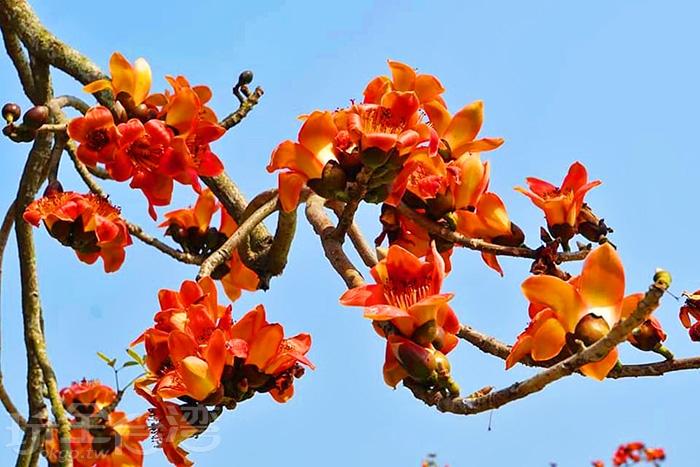 木棉花的花瓣算是比較大型的花種。/玩全台灣旅遊網特約記者單雪攝