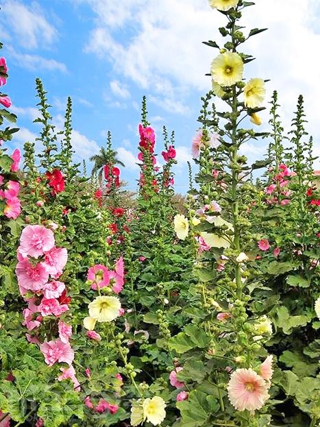 有著紅、紫、白、黃、粉紅等顏色的蜀葵花。/玩全台灣旅遊網特約記者洋甘菊小姐攝