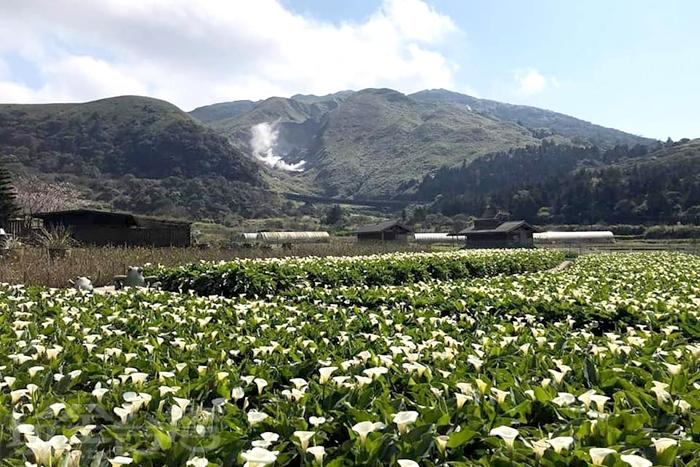 竹子湖最為美麗的海芋風景。/玩全台灣旅遊網特約記者單雪攝