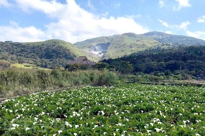 整片的海芋田是竹子湖的標準景觀。/玩全台灣旅遊網特約記者單雪攝