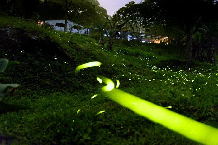 螢火蟲示意圖/照片提供_佛賜