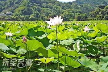 【全台最大荷花池】東勢林業園區荷花現正熱情盛開中!
