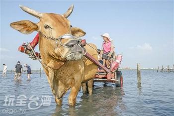 搭上牛車出海耕蚵田,體驗特別的討海生活