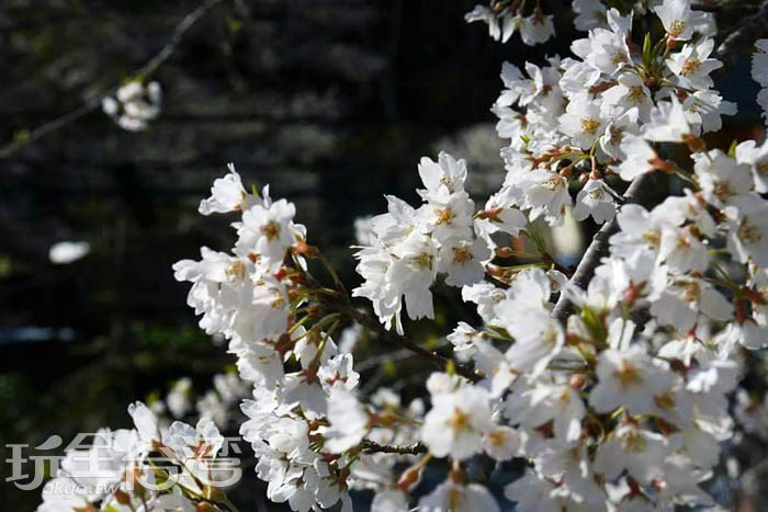 這麼美的櫻花不用再出國囉~!在臺灣有美如雪的霧社櫻秘境!快跟著我們走,帶你來場絕美視覺饗宴。