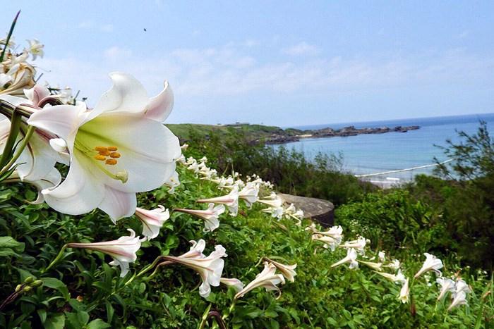 【百年好合】石門百合花盛開啦!!看那百合在藍天白雲與大海的襯托下更顯嬌貴!