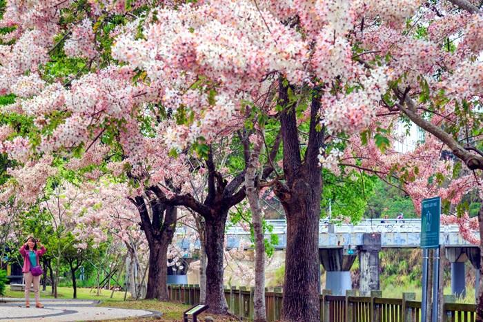 櫻花又盛開?粉嫩嫩的櫻花雨夏天也看的到!!這周末來這裡吧!