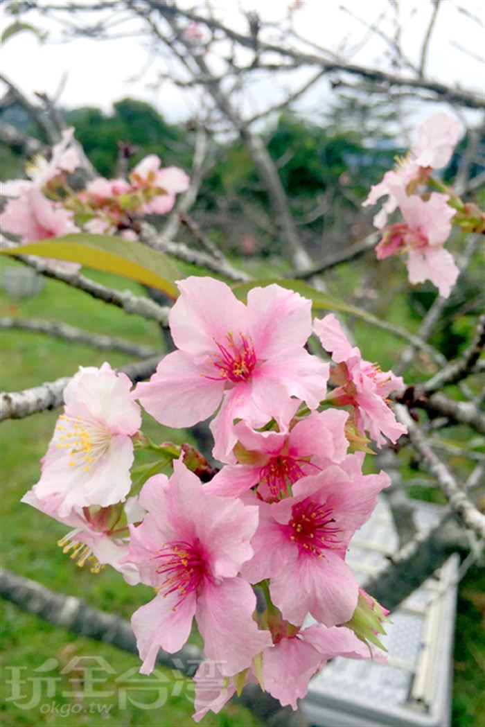 【賞櫻花啦!!】你沒看錯!!一年開兩次的櫻花潮就在這兒!!