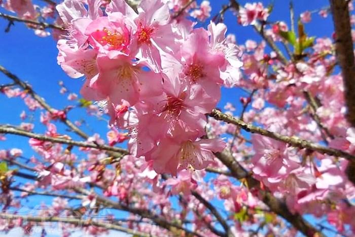 現在正是出遊賞櫻的好時節,寶山二集團櫻花公園等你來!!