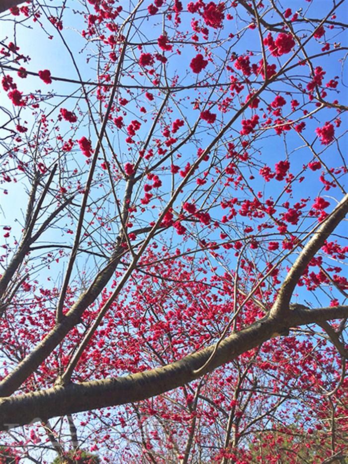 【苗栗賞櫻勝地】漫步在絕美幽靜的粉紅環境下慵懶的度過美好假日吧!