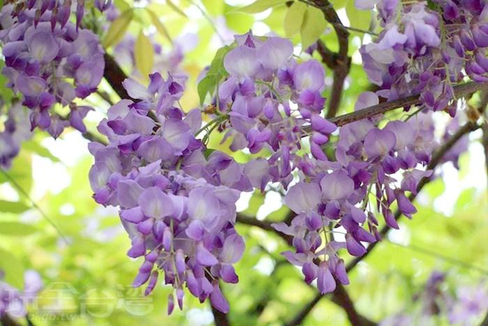 美翻天的紫藤花就在這裡!!!到紫藤咖啡園尋找那神秘又夢幻的紫色爛漫。