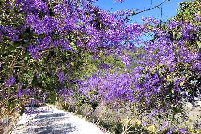 【南投埔里】到農場一覽神秘貴氣又夢幻的紫色錫葉藤隧道吧!