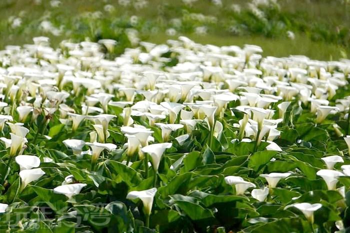 【陽明山上看海芋】竹子湖那純潔又可愛的白色海芋綻放啦~~!