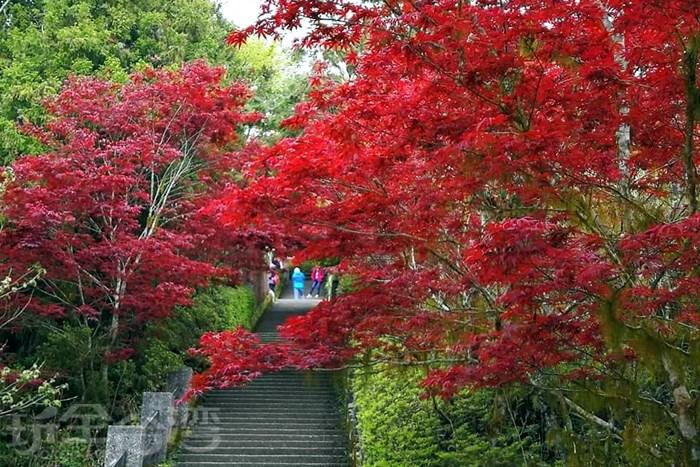 誰說只有秋天能賞楓?夏天也可以!!太平山紫葉槭紅翻天啦~!