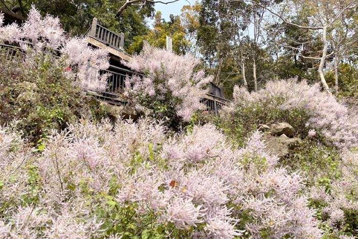 【期間限定】蜿蜒峽谷內的粉嫩花海,快來讓麝香木撫慰你的心~