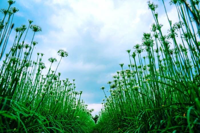 【九月雪來啦~!】超夢幻的大溪韭菜花海!期間限定趕快來賞雪!