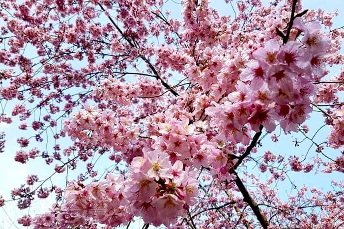 【拉拉山】前進恩愛農場‧看那欲語還休、嬌豔欲滴讓您醉心難忘美麗櫻花!!