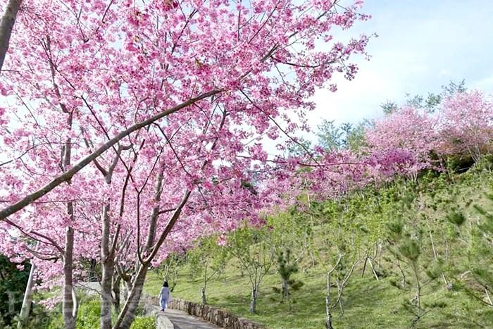 【櫻花雨漫天飛舞】尖石數碼天空的粉紅櫻花美到爆炸,好想偷藏起來不分享呀!