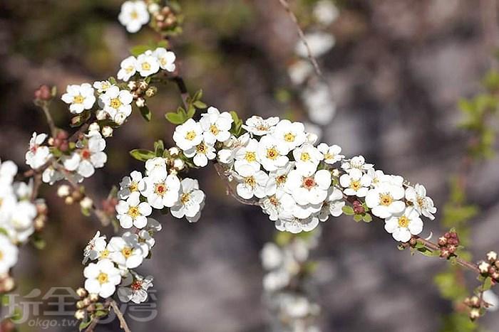 Oh my god!等了好久,霧社櫻王終於開花了,快到觀霧森林遊樂區欣賞櫻花王的王者風範吧!