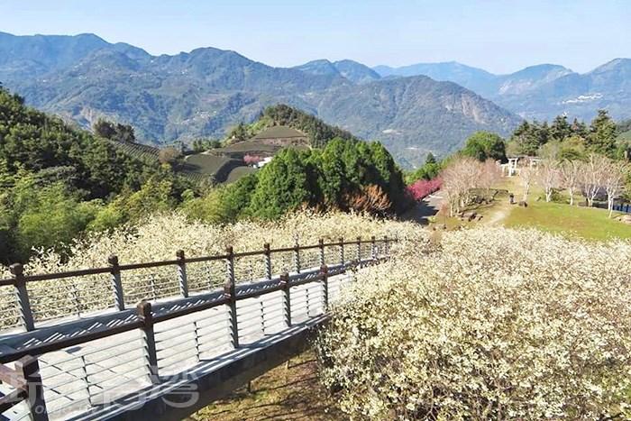 【白色櫻花】寒溪呢森林人文叡地絕美白色櫻花正盛開,這景緻可是一點也不輸給日本唷!