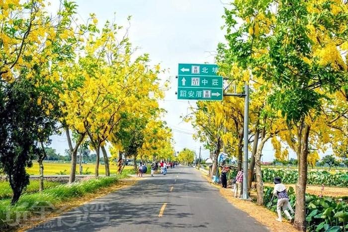 簡直人間仙境!台南白河阿勃勒大道黃金隧道黃金雨。