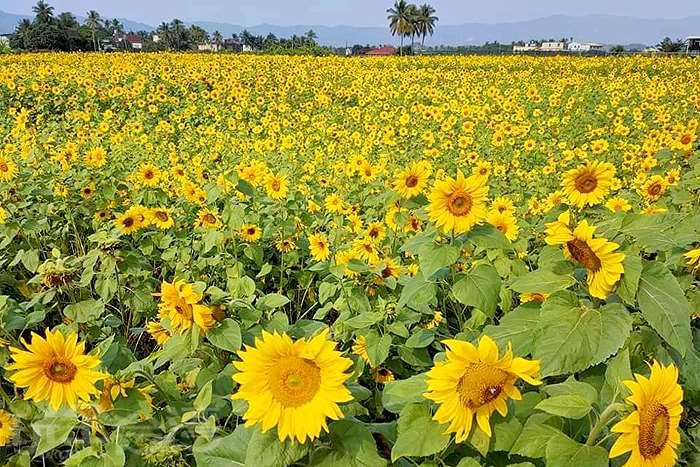 【向日葵】又到了花開的季節,一起到美濃旅行,看看那金黃燦爛的向日葵吧!