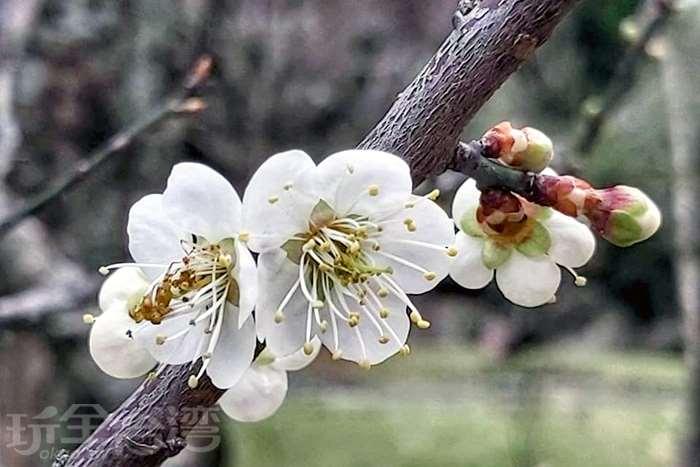 【冬季賞梅】桃園與台北要去哪賞梅呢?快跟著我們一次收服吧!!