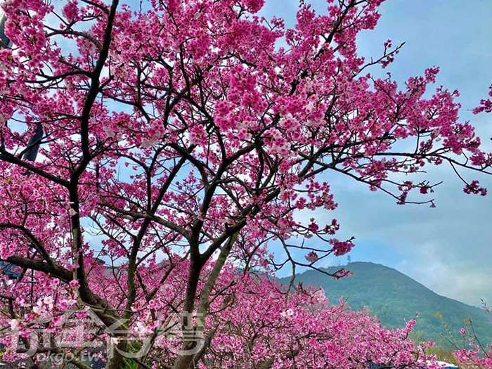 【最美櫻花巷】最美的櫻花巷就在這裡!!!賞完櫻花後再來尋找超巨大的美麗花毯吧!!