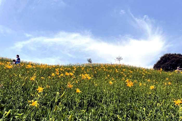 【2021金針花】虎山岩金針花爆開囉!!!快挑個離峰時間快來賞花吧!