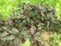 有機紅鳯菜(250g)