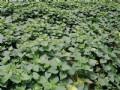 有機地瓜葉(250g)