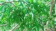 紫薇仙境-水蜜桃結實生長中