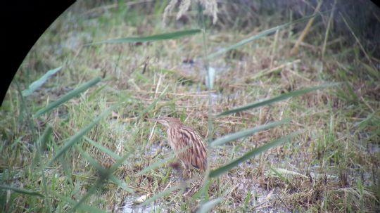 栗小鷺幼鳥 相片來源:礁溪星嵐民宿