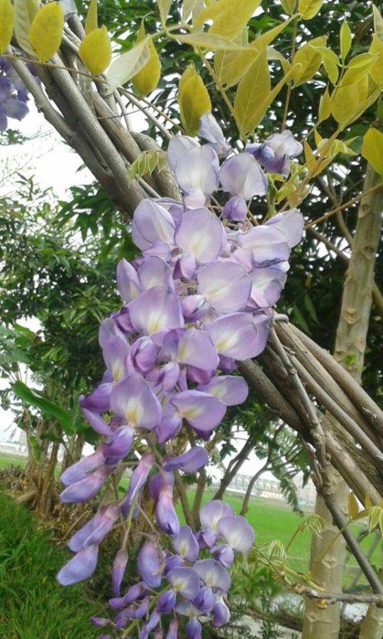 紫藤花-星嵐 相片來源:礁溪星嵐民宿