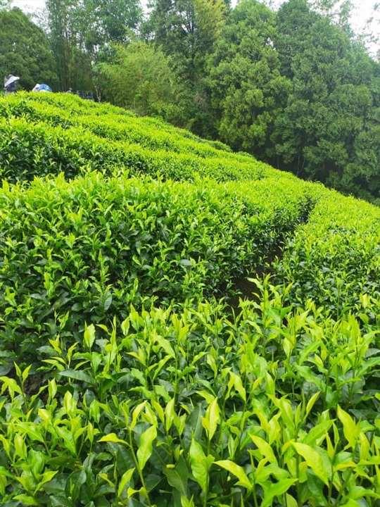 相片來源:日月潭紅茶.澀水皇茶