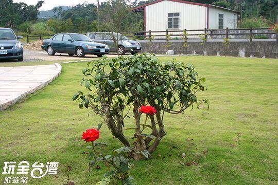 老茶樹 相片來源:日月潭民宿~紅茶工房