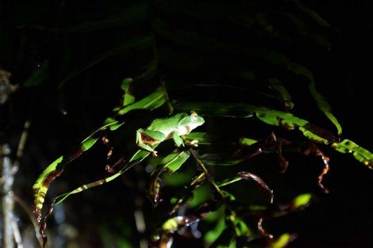 莫氏樹蛙最大的特色是牠穿著紅色的網襪及抹著紅色的眼影!